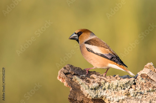 hawfinch bill perched on an oak log Billede på lærred