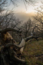 Old Dead Tree On A Hillside At Sunset And In Foggy Autumn Weather