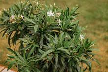 Oleander Plant With White Flowers. BNerium Oleander White  Flower Blooming