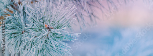 Fotografija Winter panorama of pine branches with snow and frost on a light background for d