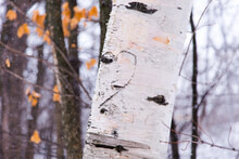 Closeup Of Heart And Initials Carved In White Birch Tree Trunk Seen During A Snowy Winter Day, Quebec City, Quebec, Canada
