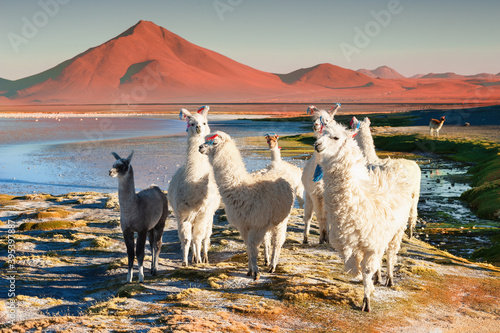 Fototapeta premium White alpacas on Laguna Colorada in Altiplano, Bolivia. South America wildlife. Beautiful landscape with lake and mountains at sunset
