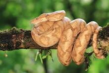Amazon Tree Boa (Corallus Annulatus) Costa Rica