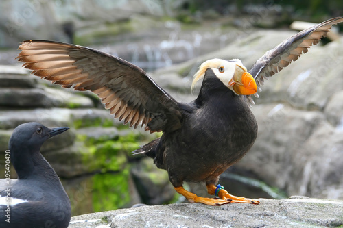 Photo Tufted puffin,  flapping wings