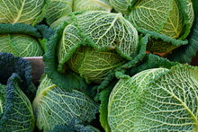 Organic Green Savoy Cabbage Chou Pomme At A French Farmers Market