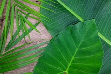 Natural Bright Green Tropical Jungle Flat Lay Background Of Banana, Palm And Colocasia Leaves In Wooden Backdrop.
