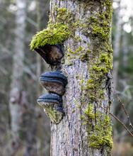 Birch Bristle Bracket Fungus