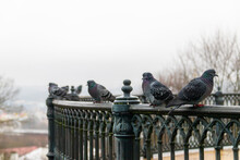 Pigeons On The Street