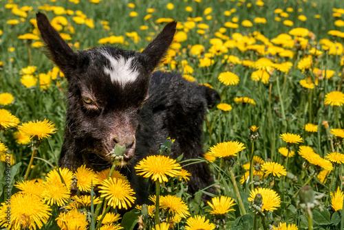Fotografie, Tablou Domestic Goat (Capra aegagrus hircus) kid in meadow