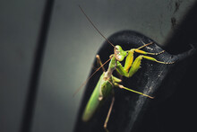 A Image Of A Wild Praying Mantis Resting On A Car Wheel Arch
