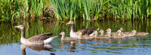 Goose Family In Water Of Canal On Spring Day Near Meadow