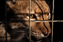 Wild Cat Face Close Up In A Cage