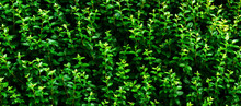 Green Leaves Background. Textu...