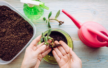 Person Growing And Planting Crassula Ovata, Jade Plant, Lucky Plant, Money Plant Or Money Tree From Piece. Houseplant Propagation Hobby Concept. Watering Can And Spray Bottle With Soil Container.