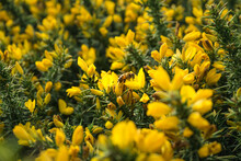 Selective Focus Shot Of A Bee Sitting On A Gorse Flower In A Field