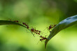 Leinwandbild Motiv Ant action standing.Ant bridge unity team,Concept team work together