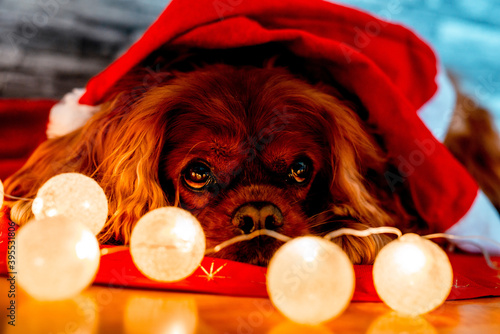 Brown Cavalier King Charles spaniel lying on red cloth with Christmas ball light Fototapet