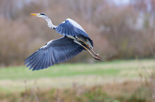 Closeup Shot Of A Great Blue Heron
