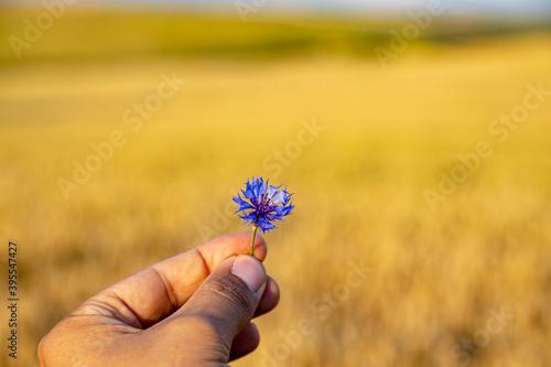 Fotografía Hand holding a blue flower - Knapweed