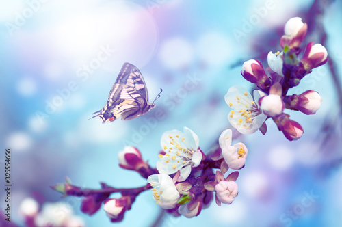 cherry tree flowers, butterfly flies on a flower, blue tint background Canvas
