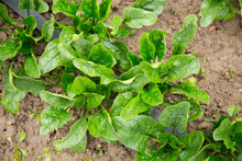Spinach Plants In A Vegetable Patch