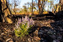 Uma Linda Flor, Planta No Cerrado Tocantinense, Se Mantendo Bela Diante às Queimadas