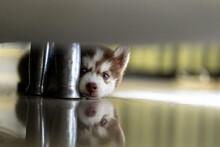 Linda Cadela, Cão, Husky Siberiano Com Dois Meses De Idade, Descansando Debaixo Da Cama