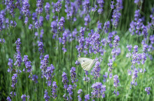 A White Butterfly In A Field Of Lavender