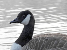 Wild Goose Floating On The Lake Surface