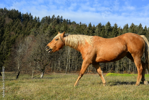 Fotografiet Wieherndes Pferd