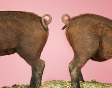 Rear End Of Pigs On Pink Background