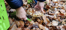Mushroom Picker Cuts Mushrooms...