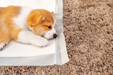 Welsh Corgi Pembroke Laying On Absorbent Sheet At Home Interior. Dog And Puppy Pee. Potty Training Pads For Pets.