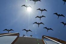 Magnificent Frigatebird, Fregata Magnificens, Is A Big Black Seabird With A Characteristic Red Gular Sac. Frigate Bird Soaring The Clear Blue Sky Over The Galapagos Islands, Ecuador, South America