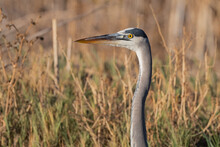 Great Blue Heron Peeking Out Of The Tall Grasses