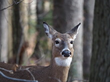 Closeup Of Female Whitetail Deer In Forest