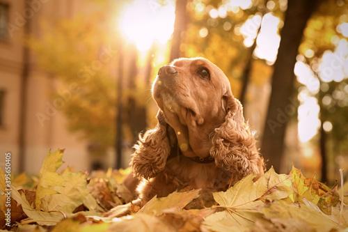 Cute Cocker Spaniel in park on autumn day