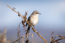 Closeup Of A Northern Mockingbird On A Branch In A Field Under The Sunlight With A Blurry Background