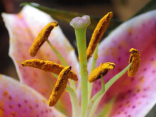 Macro Shot Of A Stamen Of A Pu...