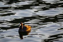 American Coot Swimming In Lake Washington In Late Afternoon Light