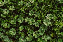 Closeup Shot Of Common Mallow Weeds