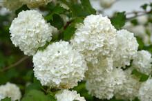 Blooming Snowball Bush, Viburn...