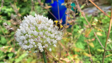 Bumblebee Collects Nectar On W...