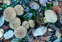 Lycoperdon Perlatum. Puffball Mushrooms Among Oak Leaves And Lichens In Autumn.