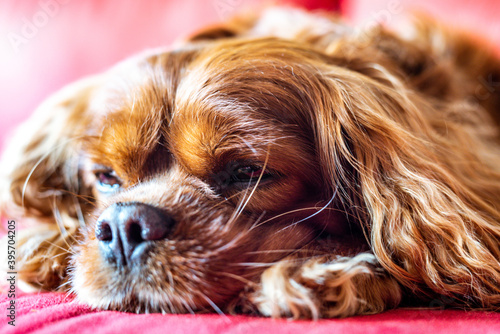 Carta da parati Closeup of a tired brown cavalier king Charles spaniel lying on a bed