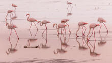 Flamingos In Small Groups In T...