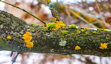Yellow And Green Lichen On Old...