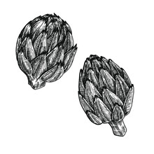 Hand Drawn Black And White Crosshatch Vector Illustration Of Two Artichokes. No Background.