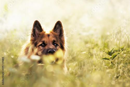 Carta da parati Selective focus shot of an adorable german shepherd