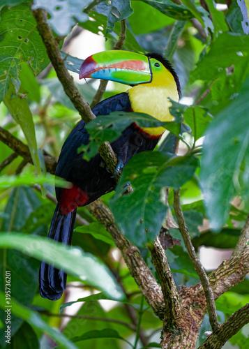 Fototapeta premium Birds of Costa Rica. Keel-billed Toucan in a tropical rain forest